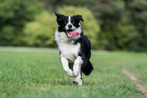 Cachorro correndo no campo