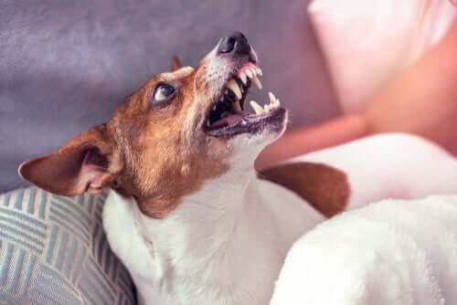 É possível reeducar um cachorro agressivo?