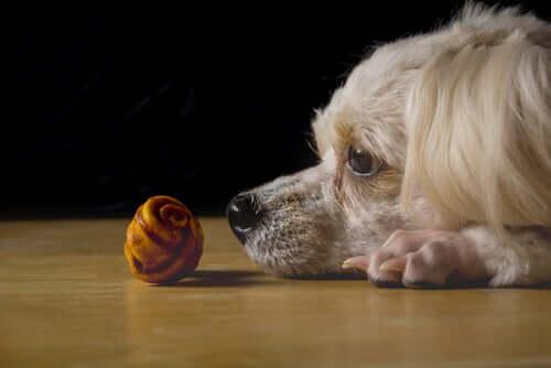 Cachorro observando objeto
