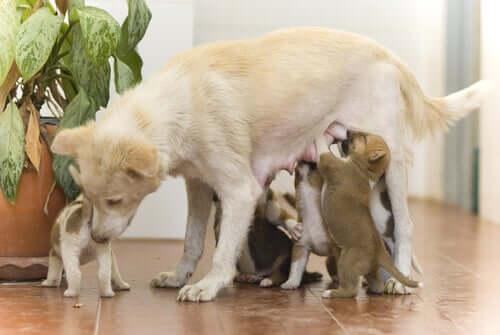 Cadela amamentando seus filhotes