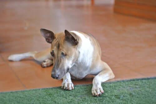 Sintomas das lesões oculares em cães
