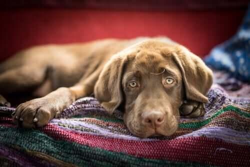 Cachorro doente deitado em casa