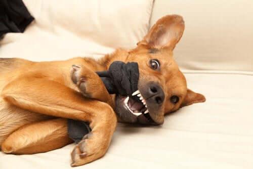 Cachorro mordendo seu brinquedo