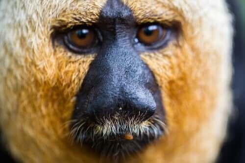 Macaco saki visto de perto