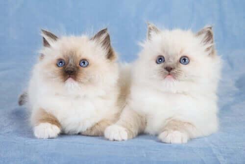 Casal de gatos ragdoll