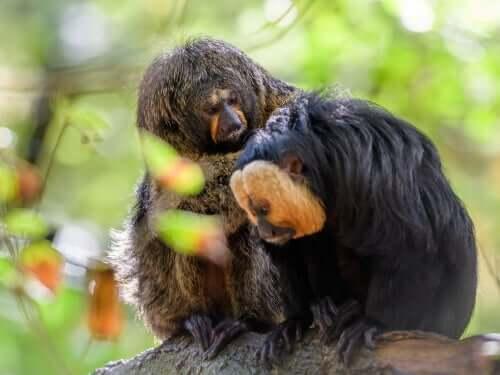 Macacos saki na floresta