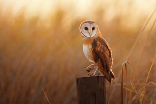 A coruja-das-torres é uma das aves de rapina noturnas