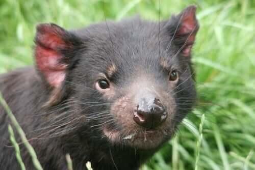 Curiosidades sobre o diabo-da-tasmânia