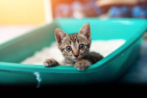 Disenteria em gatos: causas e sintomas