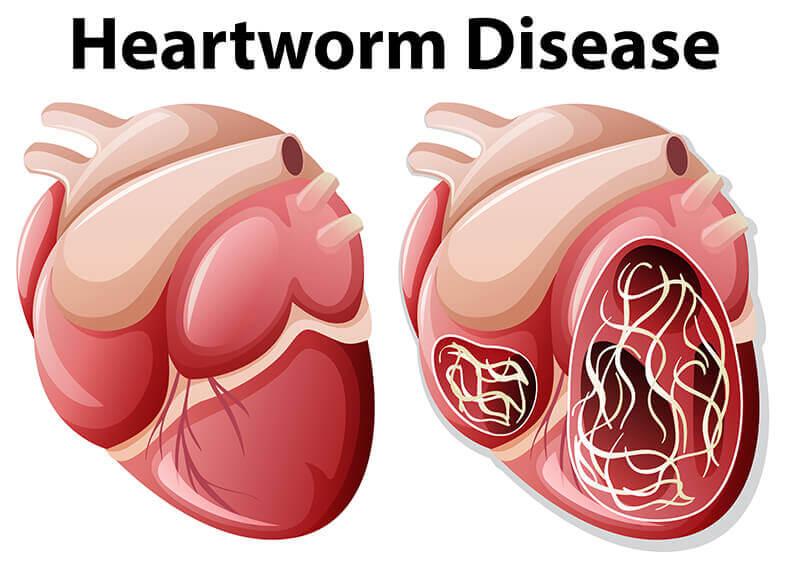 A dirofilariose canina é umadoença cardiopulmonar