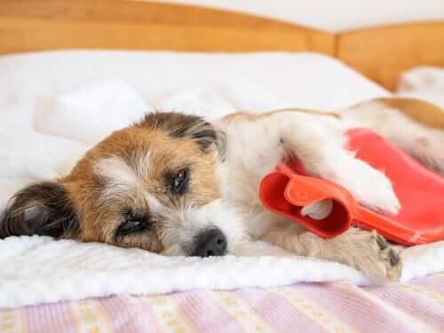 Dor de estômago em cães: causas e principais sintomas