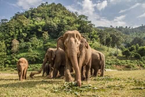 Onde vivem os elefantes-asiáticos e africanos?