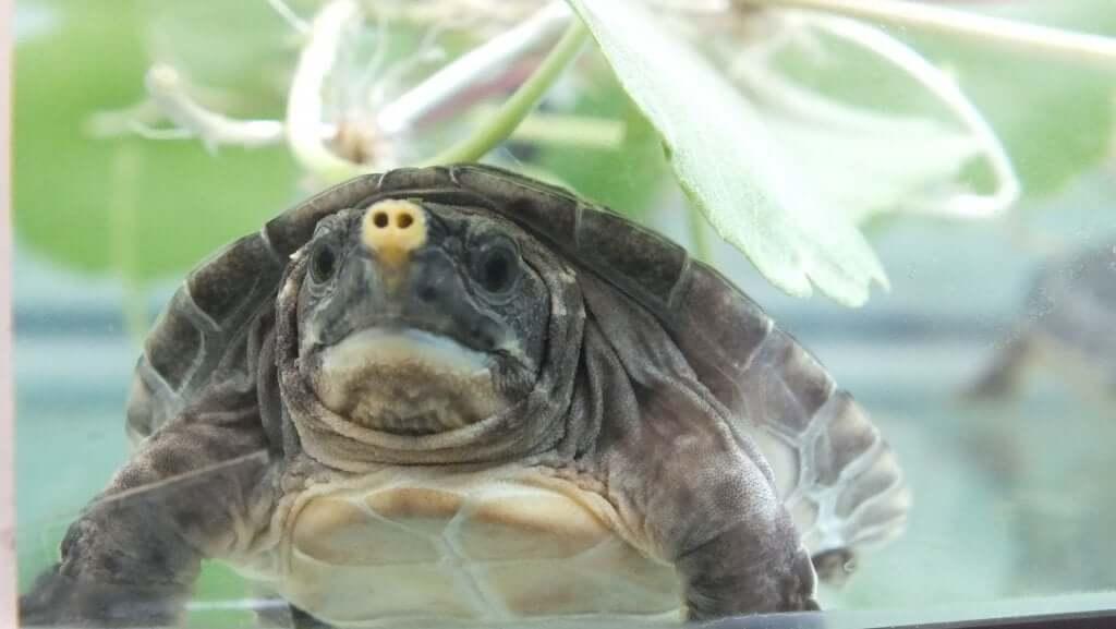 Tartaruga de rio da América Central: tudo que você precisa saber
