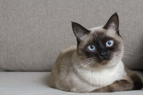 Gato siamês no sofá