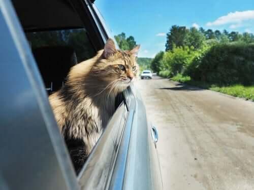 Gato viajando de carro