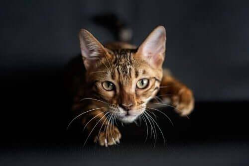 Por que os gatos têm bigodes nas patas dianteiras?
