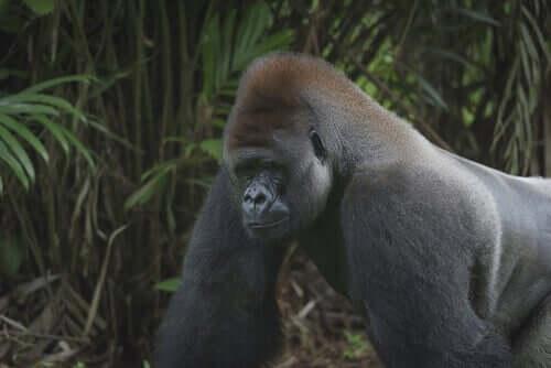 Gorila ameaçado de extinção