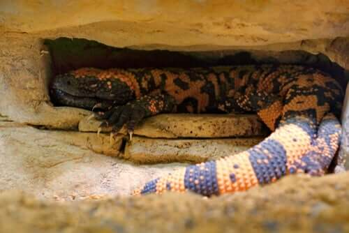 Um lagarto com uma má fama
