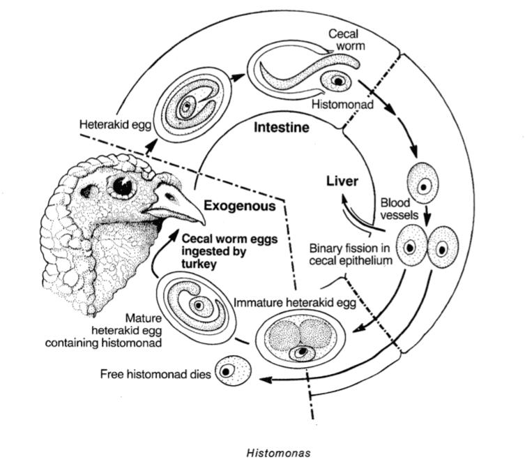 Histomonas são parasitas unicelulares