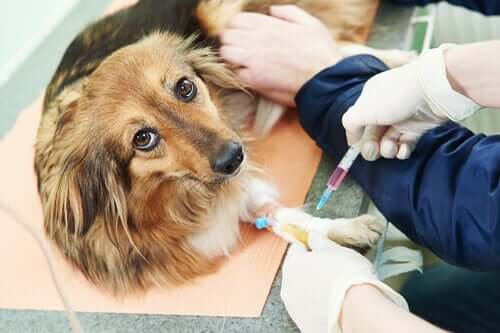 Como o hiperparatiroidismo afeta os cachorros