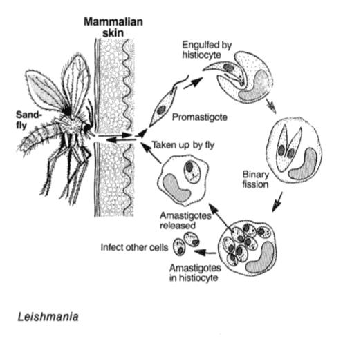 Leishmania é um dos parasitas unicelulares