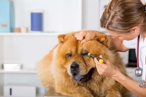 Lesões oculares em cães: sintomas e tratamento