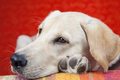 Conheça as principais causas da letargia em cães