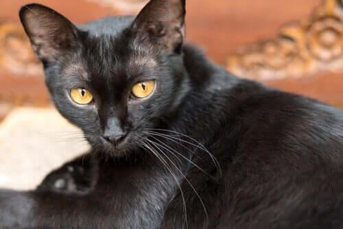 O que você deve saber sobre o vírus da leucemia felina