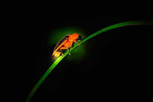 Bioluminescência em inseto