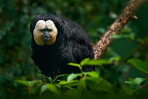 Conheça o macaco saki