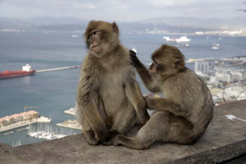 Macacos em paisagem urbana