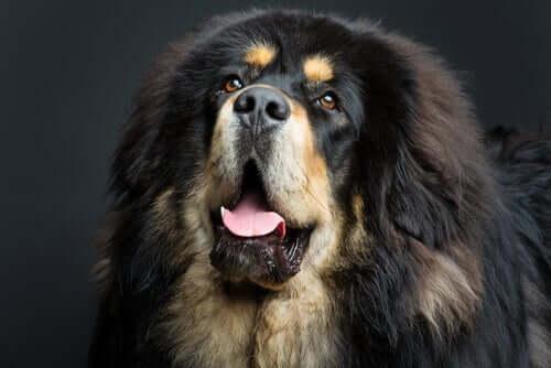 Envelhecimento precoce dos cães gigantes
