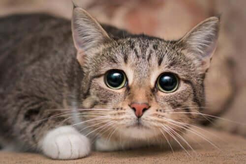Gato com olhar triste