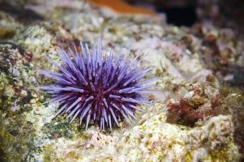 Ouriços-do-mar: saiba tudo sobre estes invertebrados
