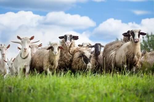 Ovelhas e cabras pastando
