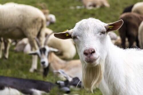 Diferenças na criação de ovelhas e cabras