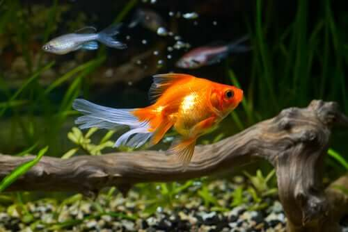 A qualidade da água é importante para a saúde do peixe-dourado?