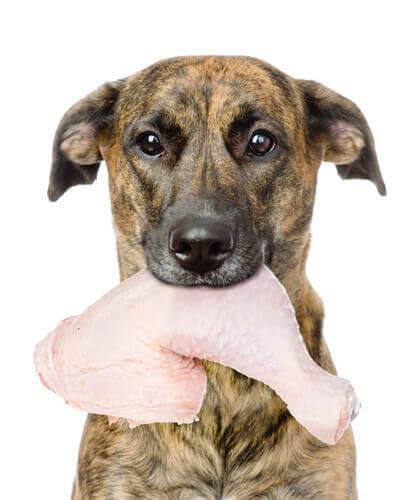 Cachorro com coxa de frango crua na boca