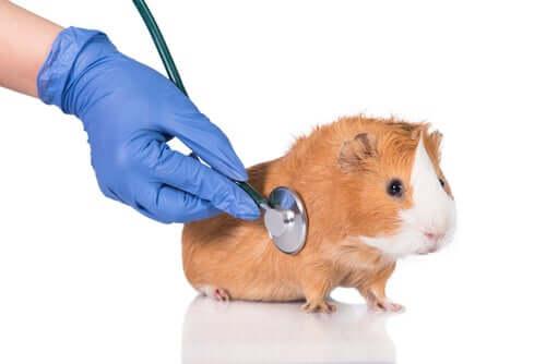 Como prevenir os parasitas em porquinhos-da-índia?
