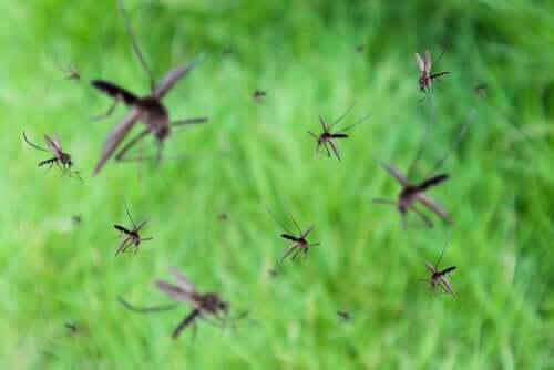 Mosquitos voando