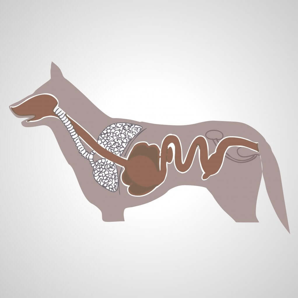 Processo digestivo do cão