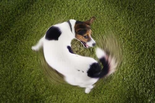 Cachorro girando tentando pegar o rabo