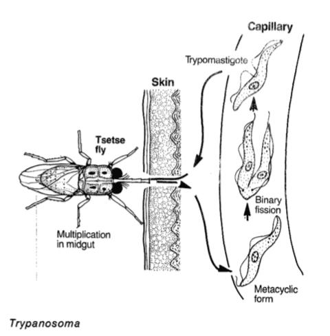 Tripanosoma é um dos parasitas unicelulares