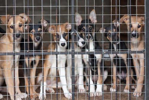 Com que idade um cachorro pode ser castrado ou esterilizado?
