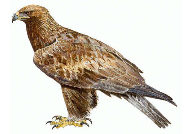 A conservação das águias espanholas