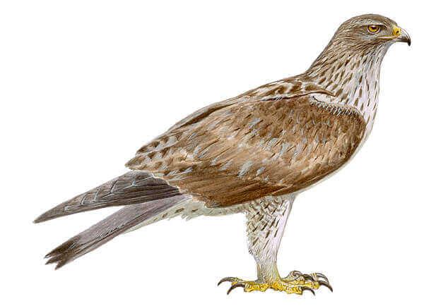A águia-perdigueira