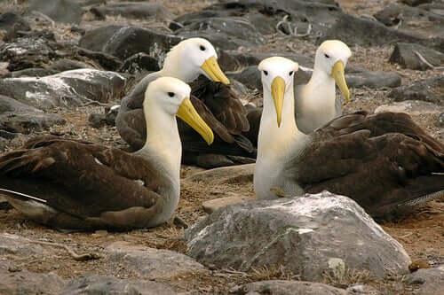 Albatroz-das-galápagos