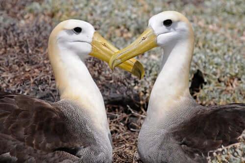 Albatroz-das-galápagos: saiba tudo sobre esta ave