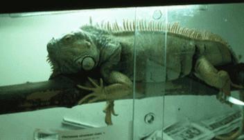 Iguanas de aquário