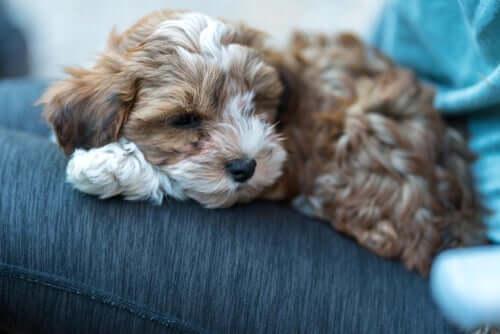 Sintomas da ascite em cães